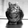 feliscorvus: feral tabby cat (rosie1) (Default)