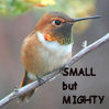 garrity: a totem of mine (rufous hummingbird, small but mighty)