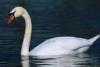 nancylebov: (white swan)