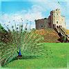 llywela: peacock in front of Cardiff Castle Keep (Castell Caerdydd)