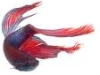 ext_14845: betta fish (pompoms fish)