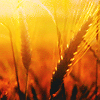 glori: (wheat)