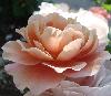 mistressofmuses: Closeup photograph of a light pink rose. (rose)
