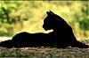 taery: (кошачье золото)