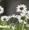 milliebee: (daisies)