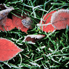spatz: frost covered red leaves on frozen grass (frost leaves)
