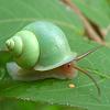 antrazi: (snail)