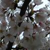 feuervogel: (sakura)
