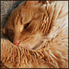 ext_17983: Photo of an orange tabby curled up and half asleep (I should have been born a cat)