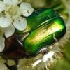verdesmeraldo: (Green beetle)