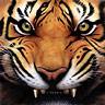 replyhazy: (Furious tiger!)