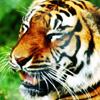 replyhazy: (panting tiger)