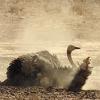 avia: (dust bath)
