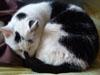 lizziec: (animals - Tiptoes cat)