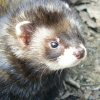 lizziec: (animals - Polecat)