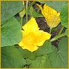 cereta: a squash blossom (squash blossom)