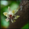 caprices: Star-shaped flower (cacao, flower)