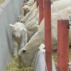caprices: lamb (sheep, trough)