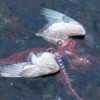 eightlazylegs: A set of wings and a few orange tentacles on the surface of water (Wings)