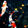 cobaltazure: Two koi in a pond (stock: koi)