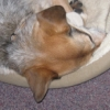 jesse_the_k: Lucy the ACD snuggles up against the edge of her cozy dog bed, nose under her leg (LUCY snuggles)