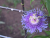 merielle: purple passiflora on a barbed wire fence (passiflora) (Default)
