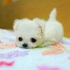 thinklikewater: An adorable teeny white puppy (Puppy)