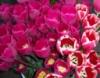waywardcats: Madison, WI Farmers Market May 2010 (tulips)