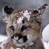 breezeshadow: Is it not adorable? (PumaKitten)