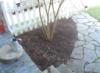 zirconium: corner of dormant tulip bed (corner)