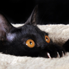 bombay: bombay cat (Default)