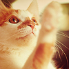 bellflower: A cute white and ginger kitty, raising a paw ([Cats] Kitty paw)
