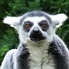 frith: Lemur catta (Skeptical)