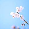 sarashina_nikki: (sakura 1) (Default)