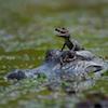 aximili: Me (Nature: Baby Gator)