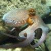 eightlazylegs: A blue/orange octopus swimming (Swimming)