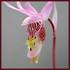 centuryplant: A pink Fairy Slipper orchid (Fairy Slipper orchid)