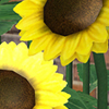 potpie_sims: (sunflowers)