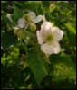 feuer_flammenlos: blackberry flowers (garden)