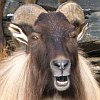 frith: Himalayan tahr (Amused)