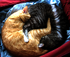 afuna: orange and gray tabby snuggled together, forming a vaguely yin-yang shape (cuddling)