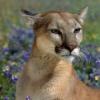 online_savannah: (cougar)