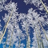 silveraspen: silver trees against a blue sky background (poetry books by saphyria)