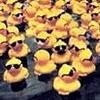 gerald_duck: (loadsaducks)