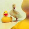 gerald_duck: (combo)