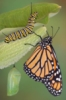 christinathena: A butterfly resting on a leaf, near a caterpillar and a cocoon (Butterfly)