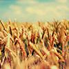 astro_noms: (wheaty field of wheat)