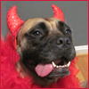 cyprinella: Picture of my dog Greta with red devil horns and a feather boa (Greta devil)