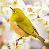 queenlua: A yellow bird sitting in a cherry blossom tree. (Mejiro (Japanese White-Eye))