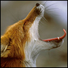 aikea_guinea: (Fox - Yawn)